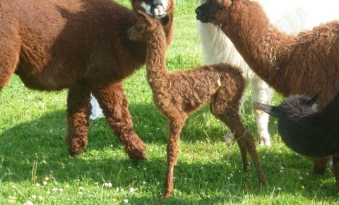 Alpaka auf dem Hielscher Hof
